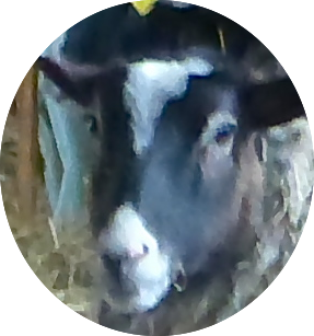 20140429-close up elliptical sheep.png