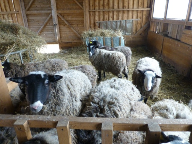 20140429-sheep2.jpeg