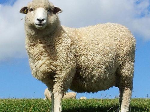 20150925-suspicious_sheep.jpg