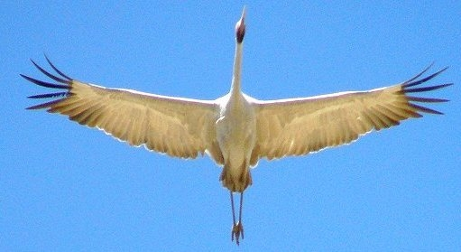 20151127-rsz_brolga_high_up.jpg