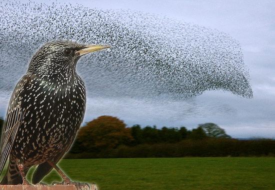 20160208-starlings.jpg