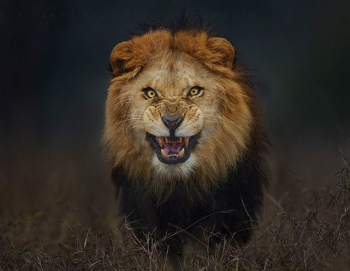 20171110-rsz_lion-attack-photo-portrait-wildlife-photography-atif-saeed-2.jpg