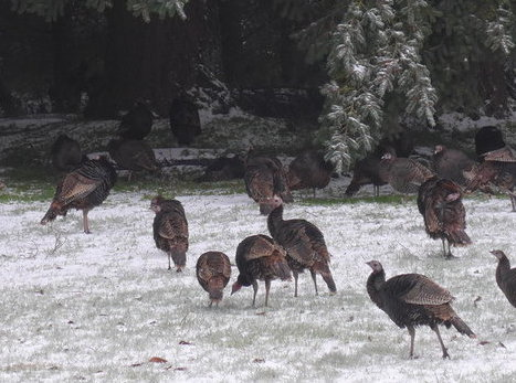 20171124-rsz_1rsz_1rsz_1turkeys_snow.jpg
