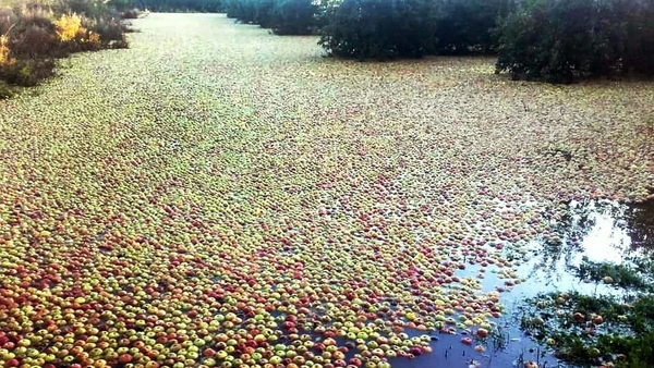20201027-rsz_apples_in_flood.jpg